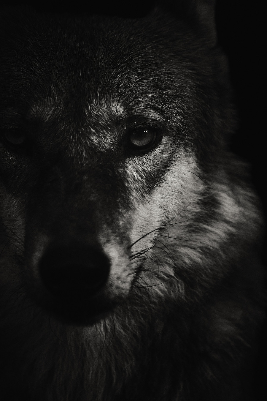 Canis lupus chanco