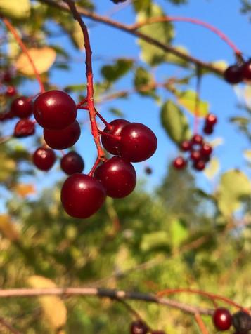 Wild choke cherries