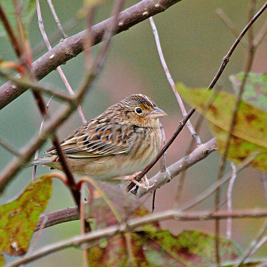 A grasshopper sparrow resting on a branch.