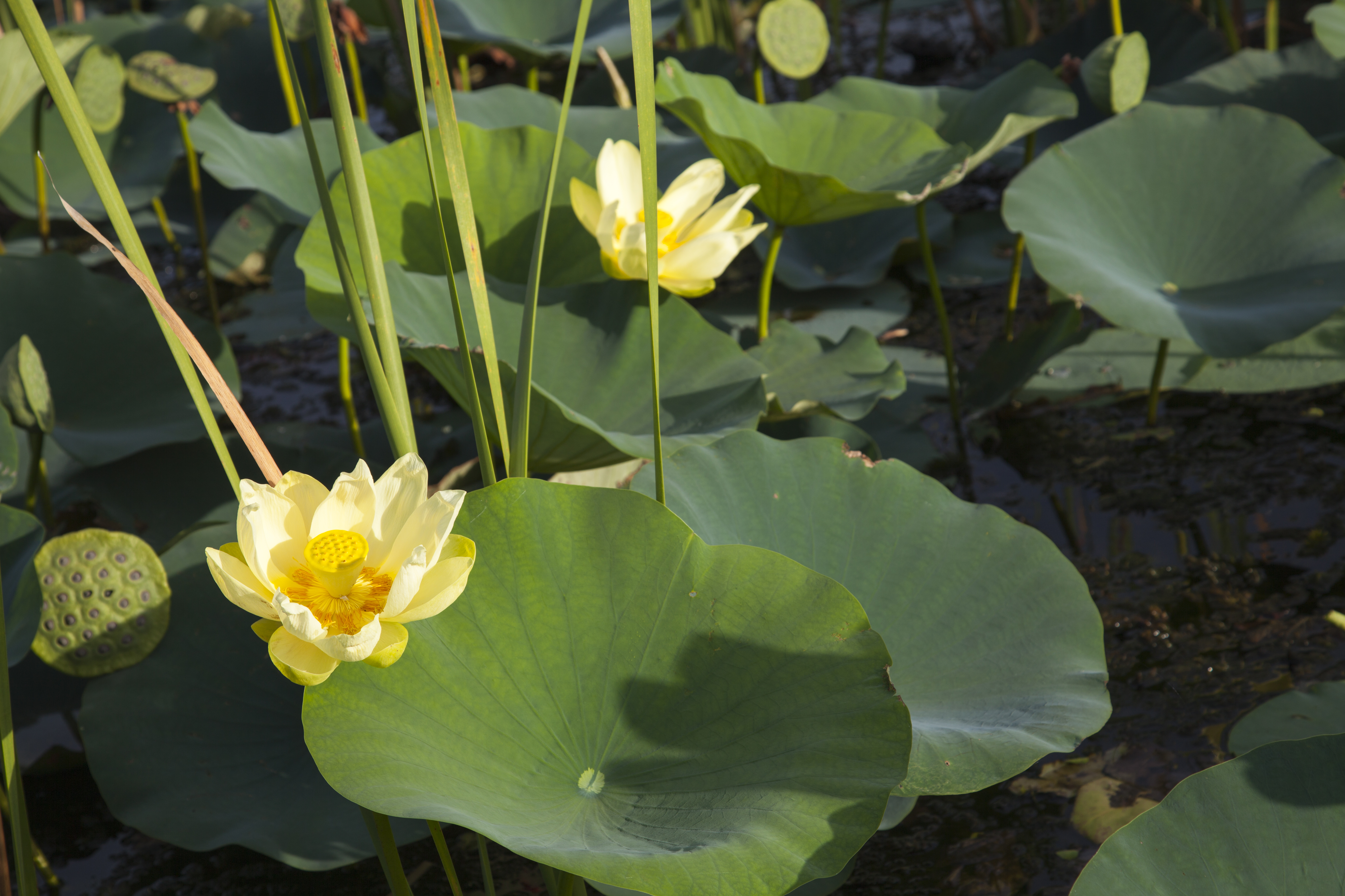 American Lotus Blossoms
