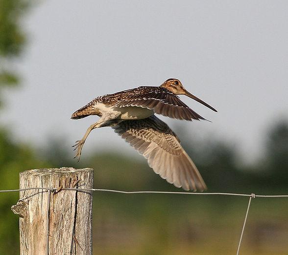 A snipe in flight