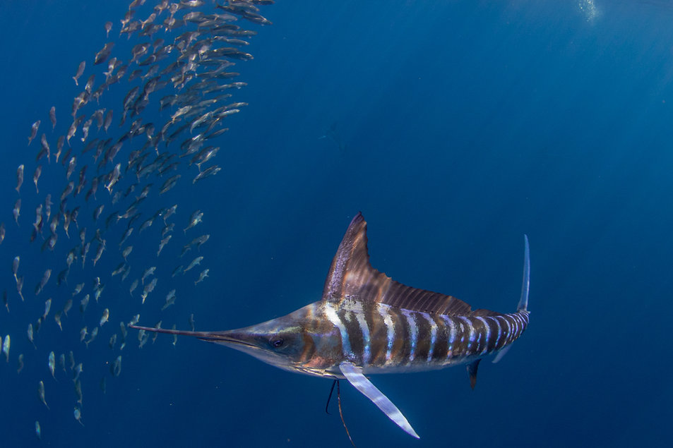 A blue marlin swimming around a school of smaller fish.