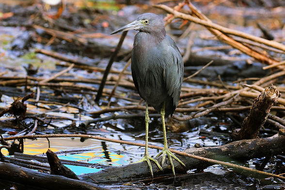 A little blue heron standing on a branch in the water.