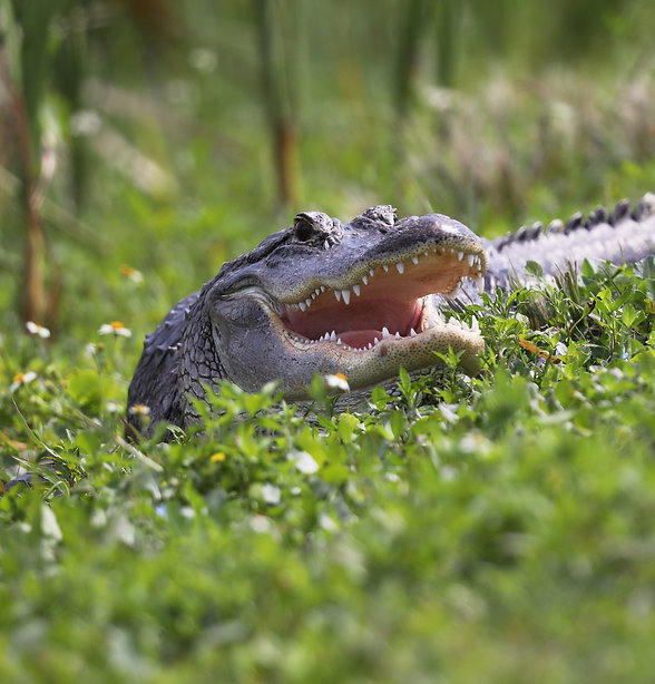 An alligator on the ground with its mouth open.