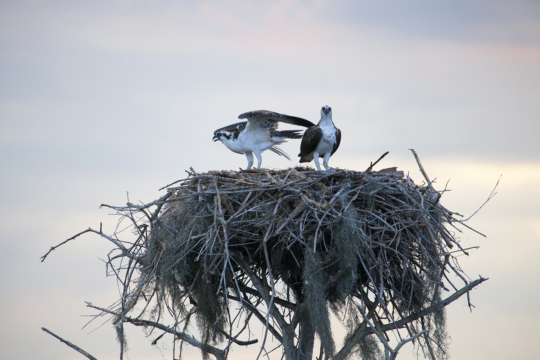 Pair of Osprey in Nest