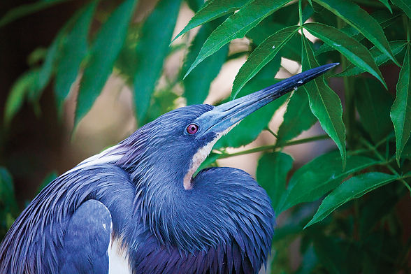 Geoffrey C Smith Little Blue Heron Upclo