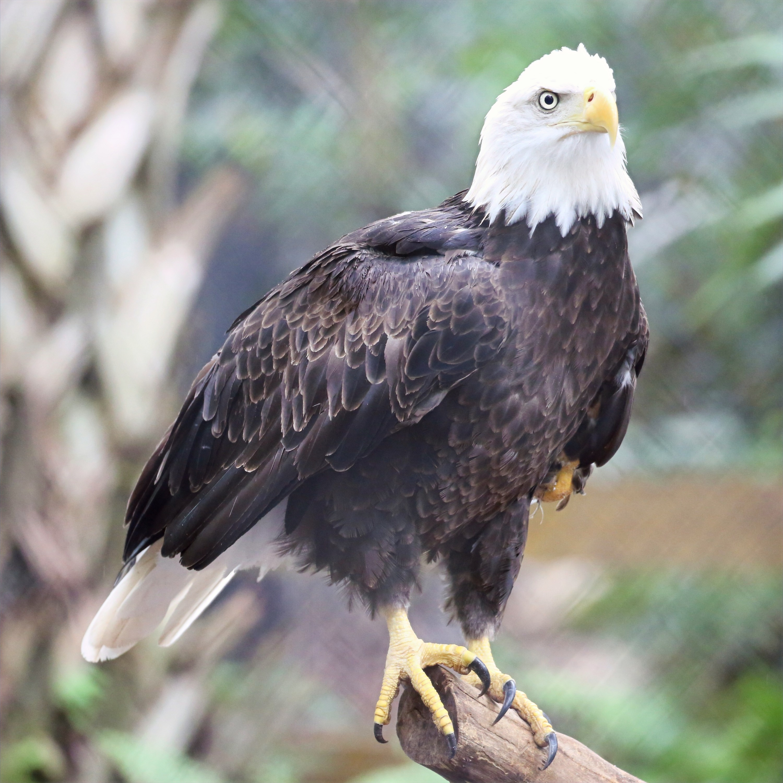 Eagle Artwork Collection