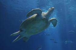 Sea Turtle Artwork Collection