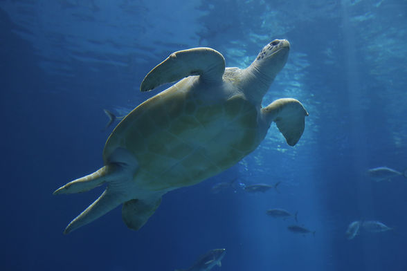 An image of a sea turtle swimming