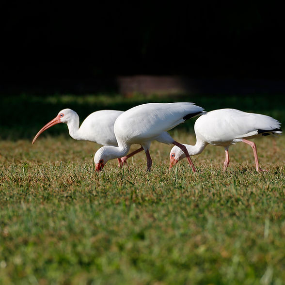 A flock of white ibis feeding in a field of grass.