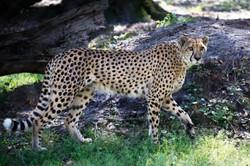 Cheetah Artwork Collection