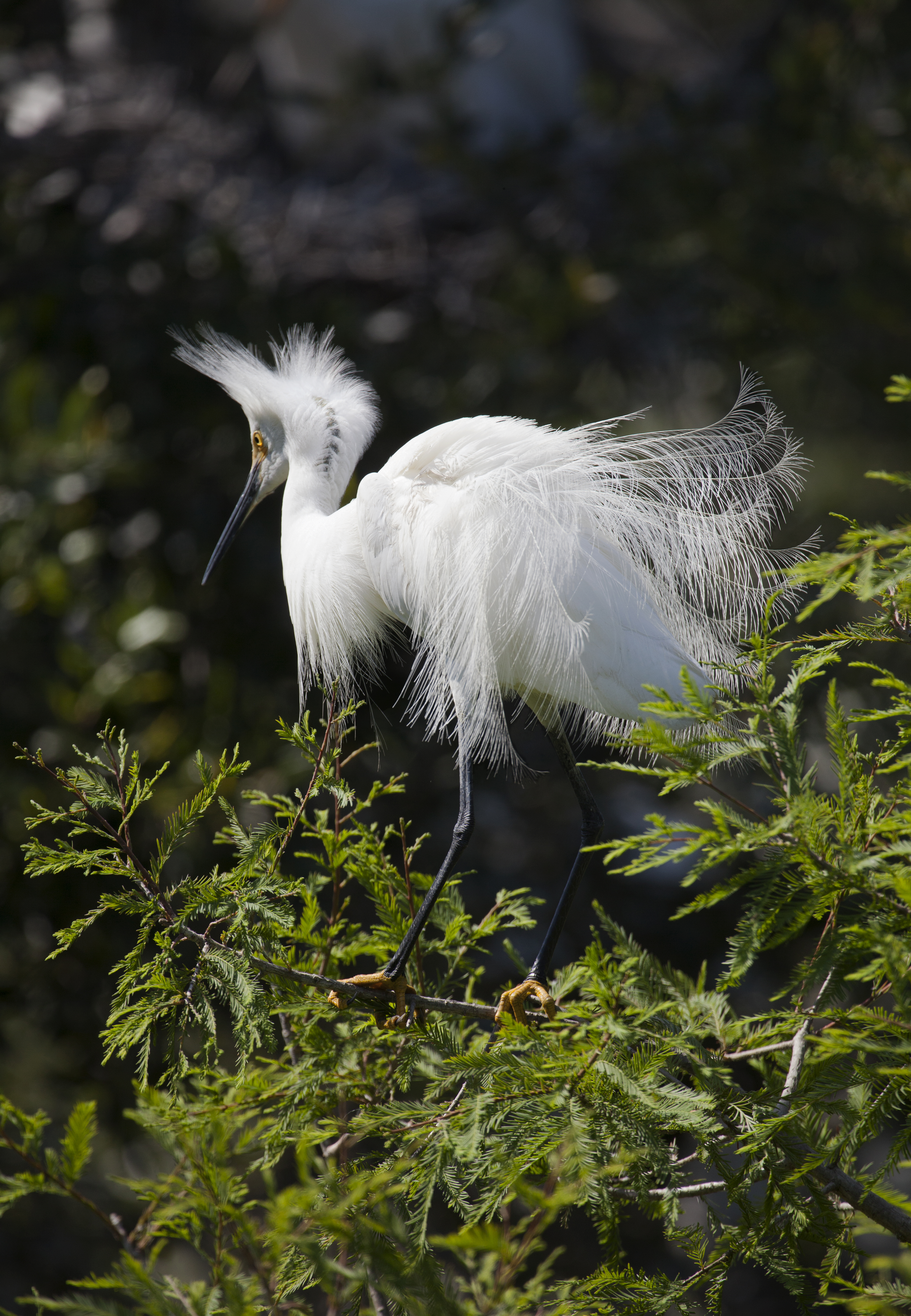 Egret Plumage 1