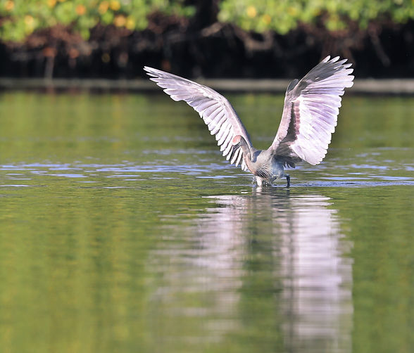 A reddish egret walking in the water with its wings spread out.