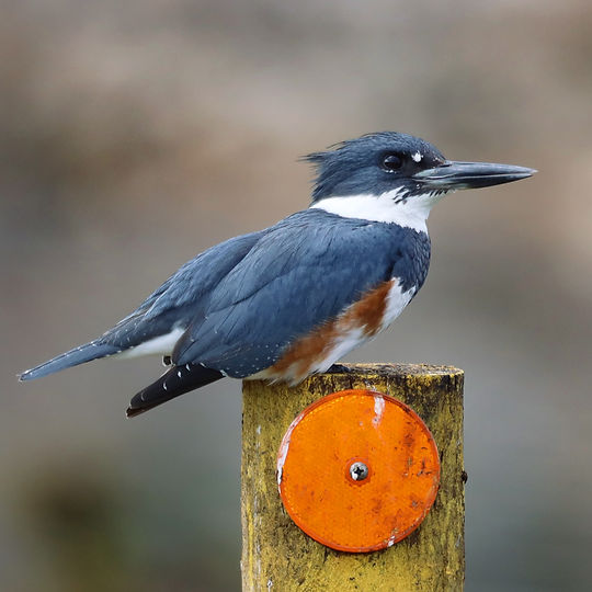 1Y6A0670 Kingfisher (For Web).jpg