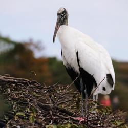 Wood Stork Artwork Collection