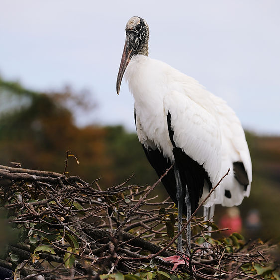 HP6A7570 Wood Stork for Web.jpg