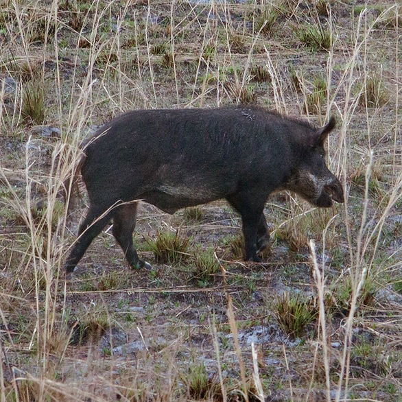 A wild pig walking in a field of grass.