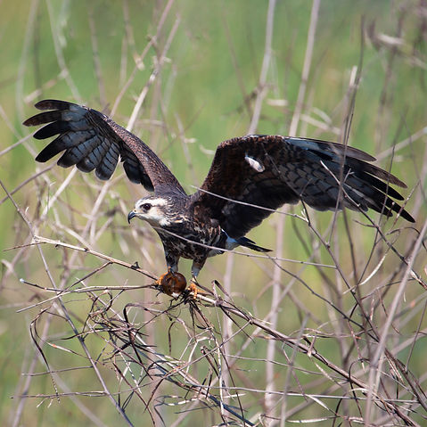 A snail kite with its wings out holding a snail in its talons.