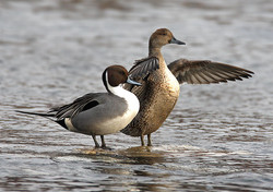 Pintail Artwork Collection