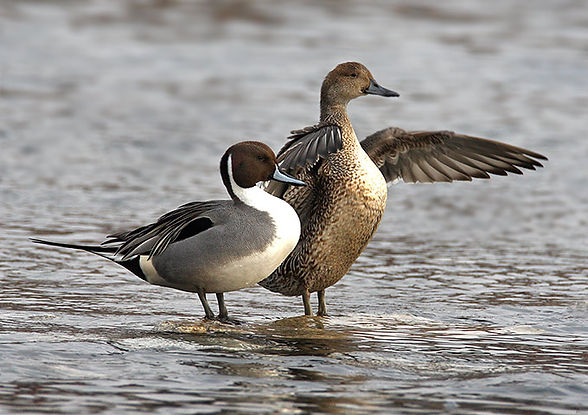 Pintail ducks standing in the water.