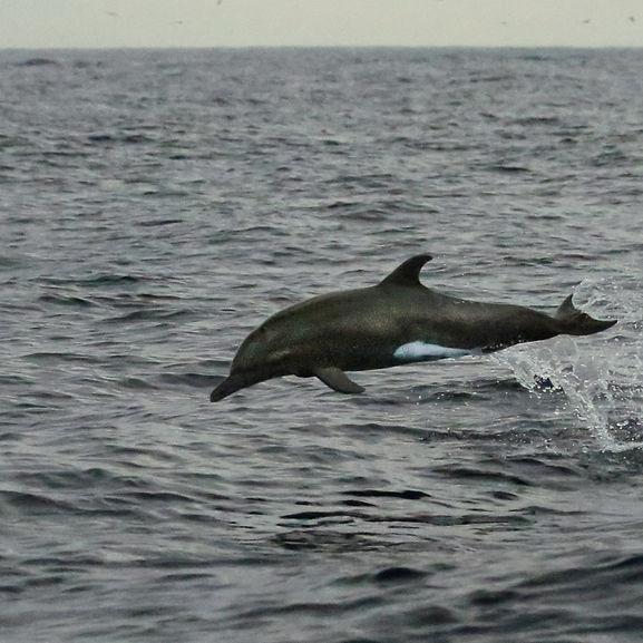 4I5A2712 Amazing Leaping Porpoise Dolphi