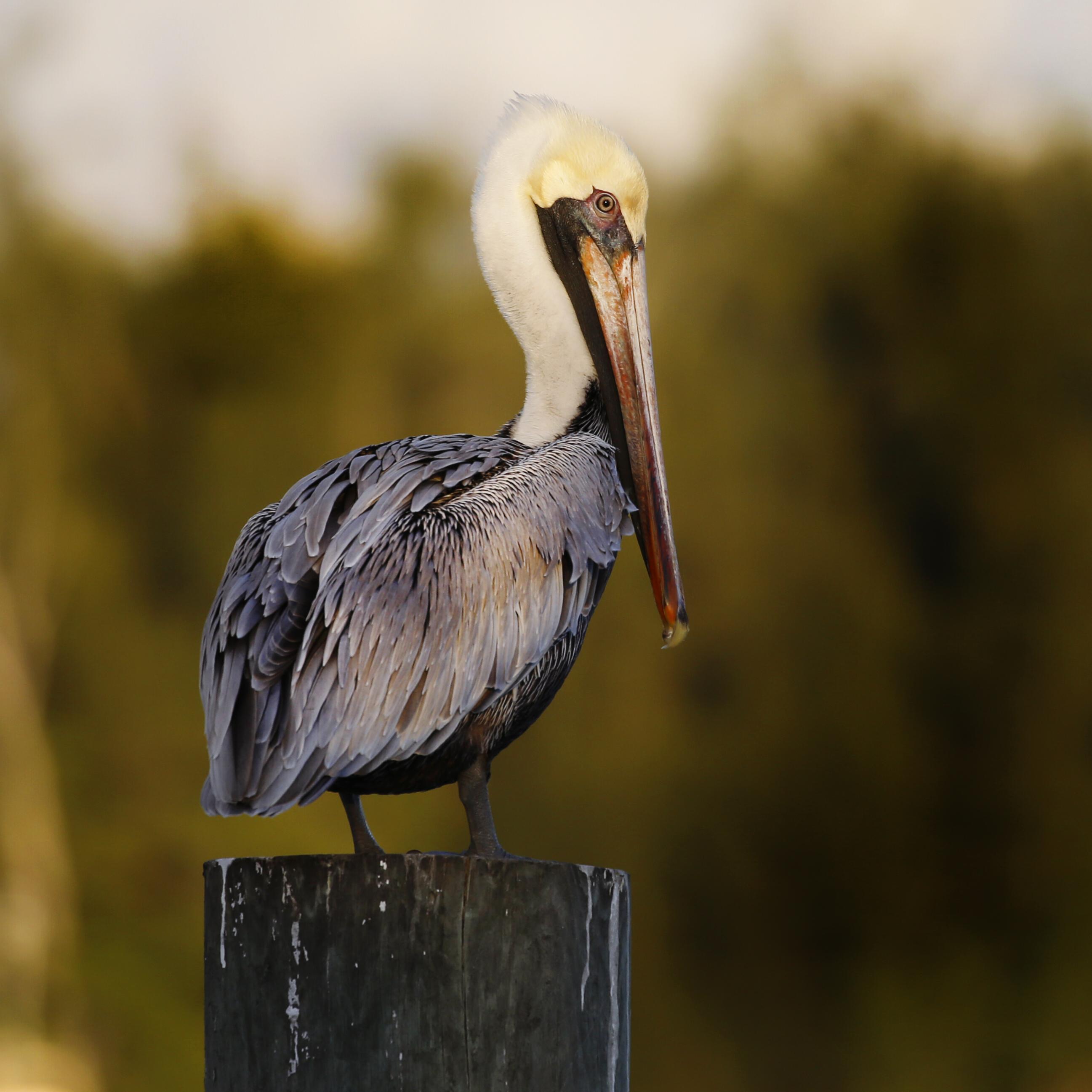 Pelican Artwork Collection