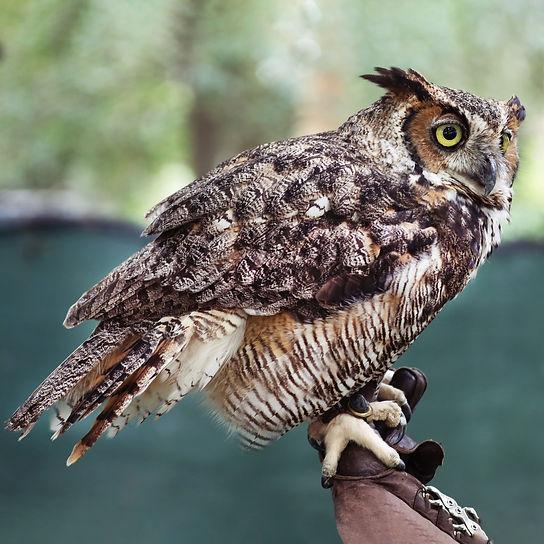 HP6A8214 Owl for Web.jpg