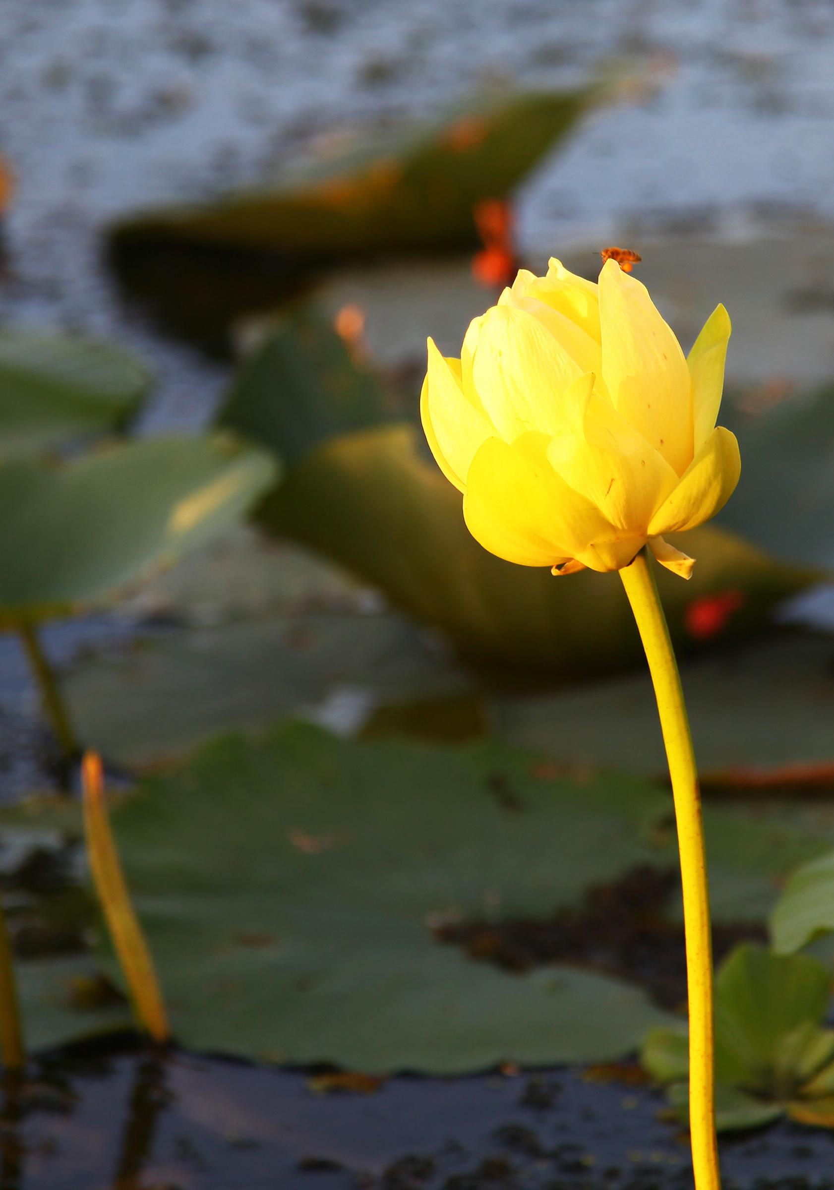The Single Lotus Photograph