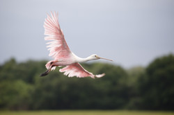 Spoonbill Artwork Collection