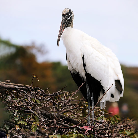 A wood stork standing on branches.