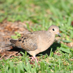 Mourning Dove Artwork Collection