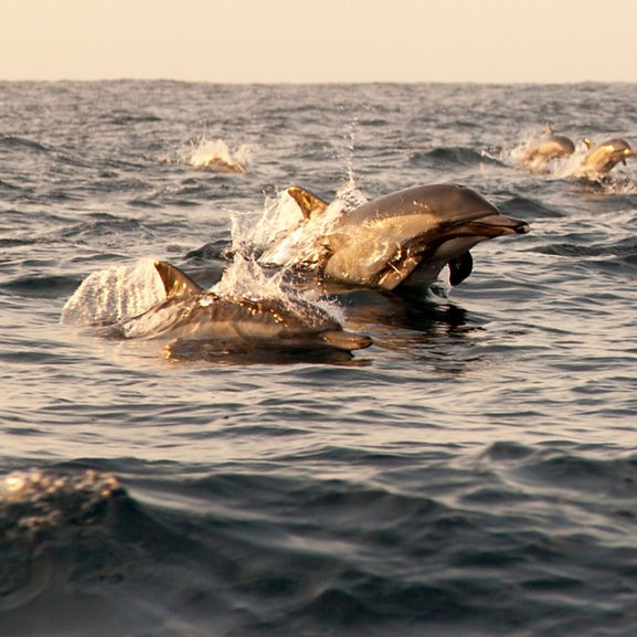 A pod of dolphins jumping out of the water.