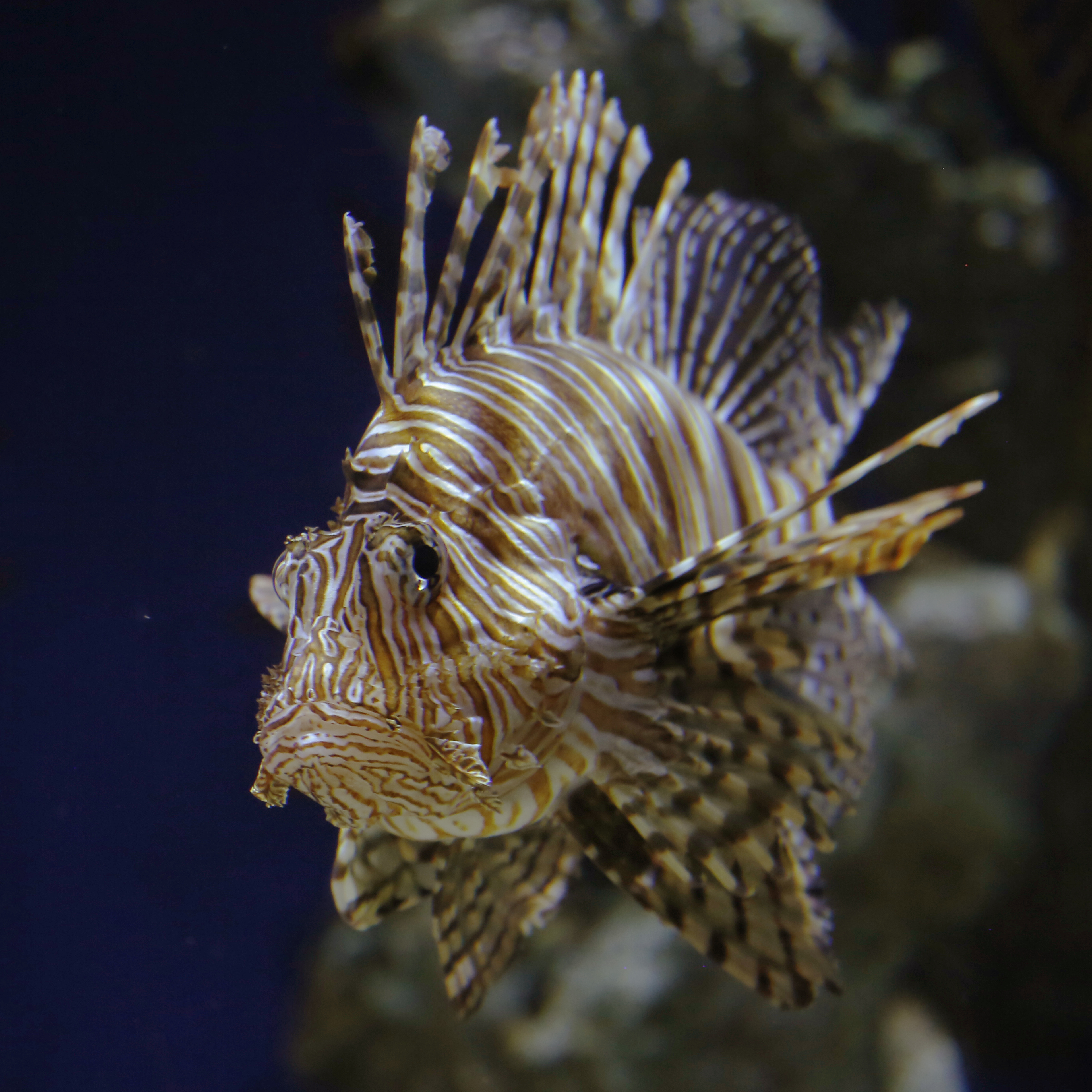 Lionfish Works of Art