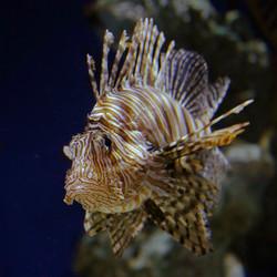 Lionfish Artwork Collection