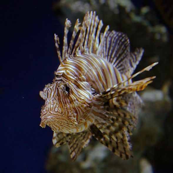 Lionfish Reference.jpg