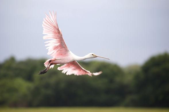 A roseate spoonbill in flight.