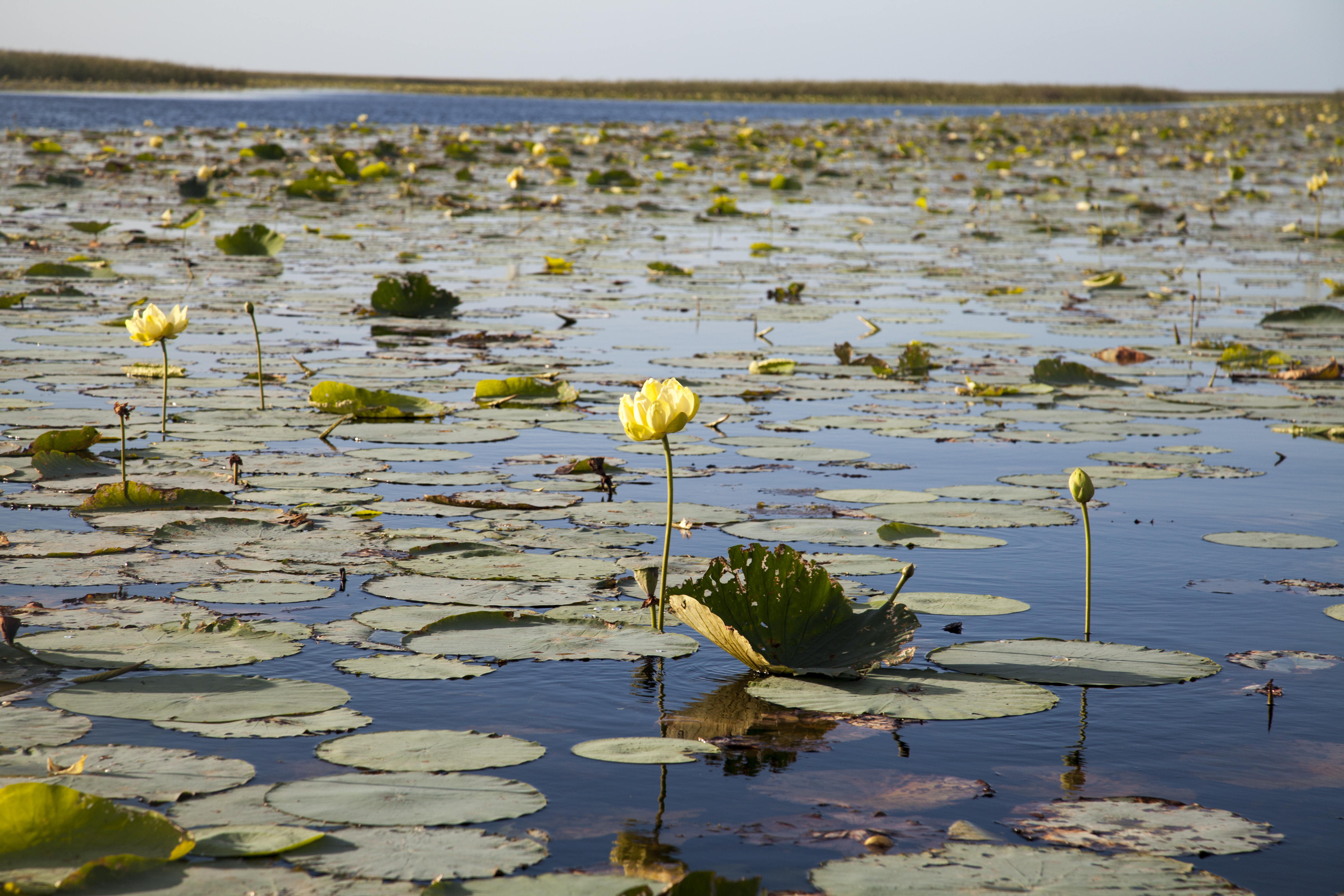 Blooming Lotus over the Swamp