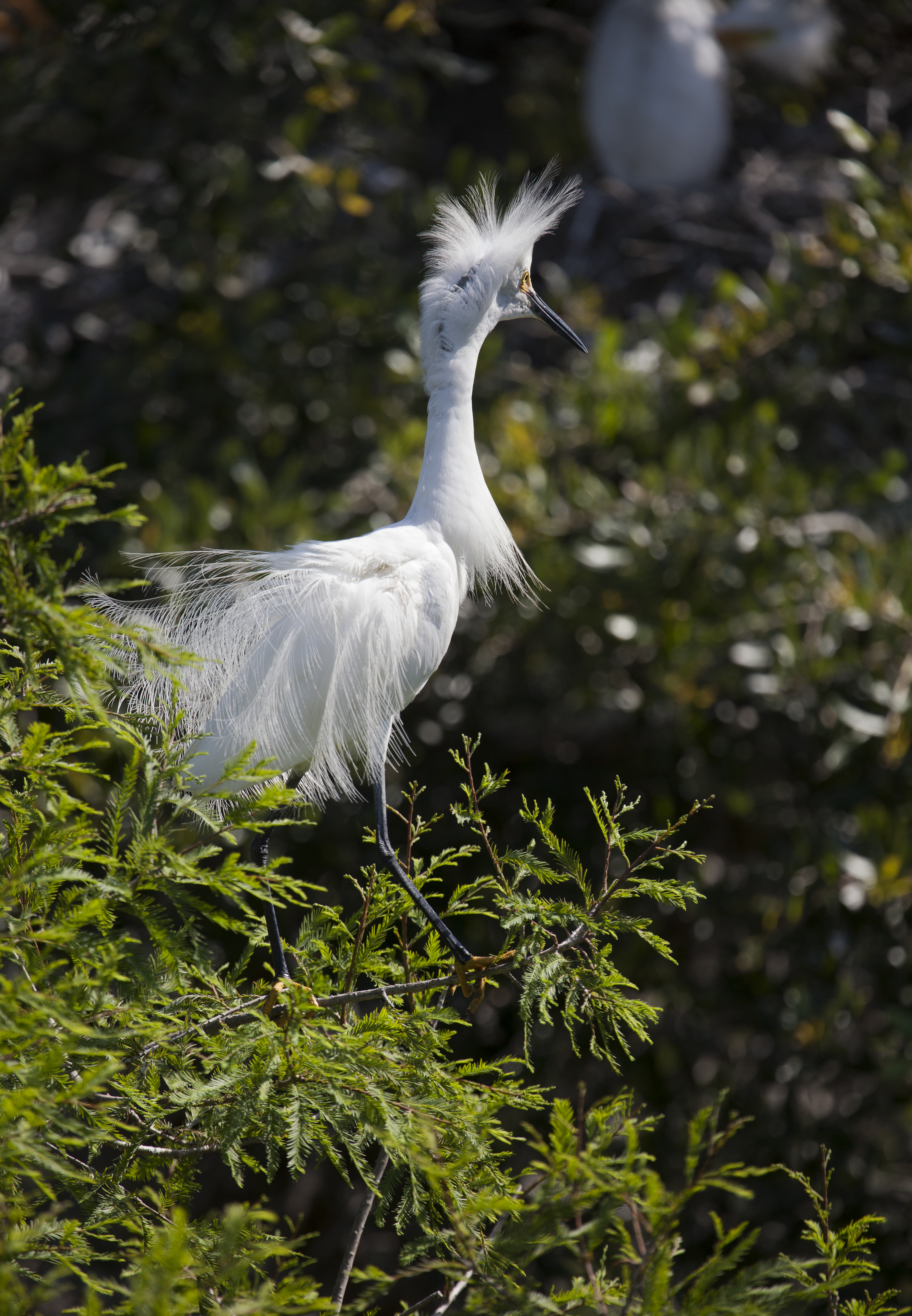 Egret Plumage 2