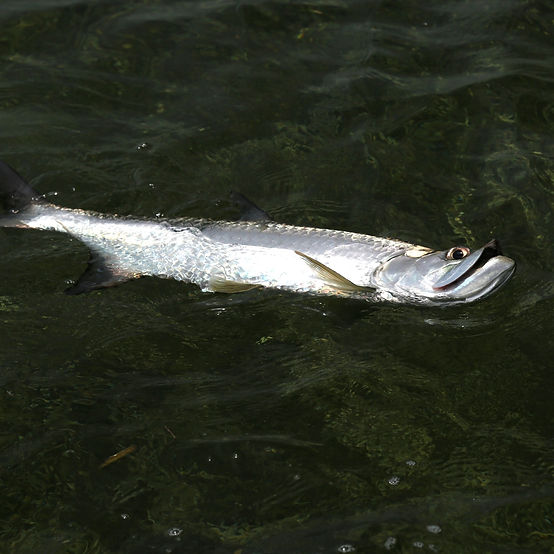 A tarpon swimming on its side in the water.