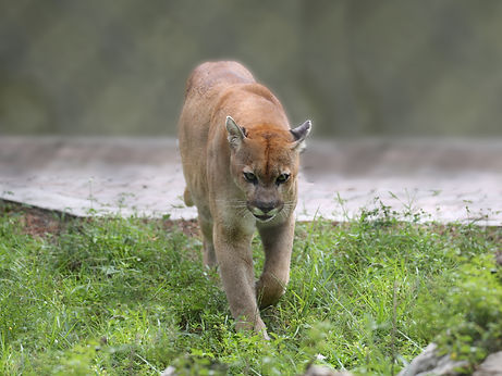 A florida panther walking in the grass.