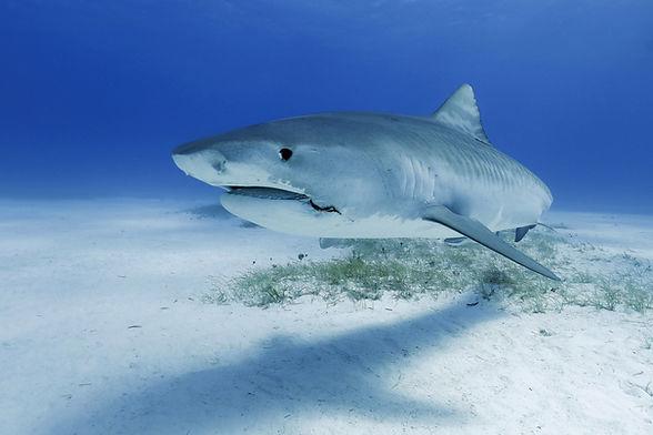 Shark Photo by vanessa-mignon.jpg