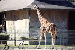 Giraffe Artwork Collection