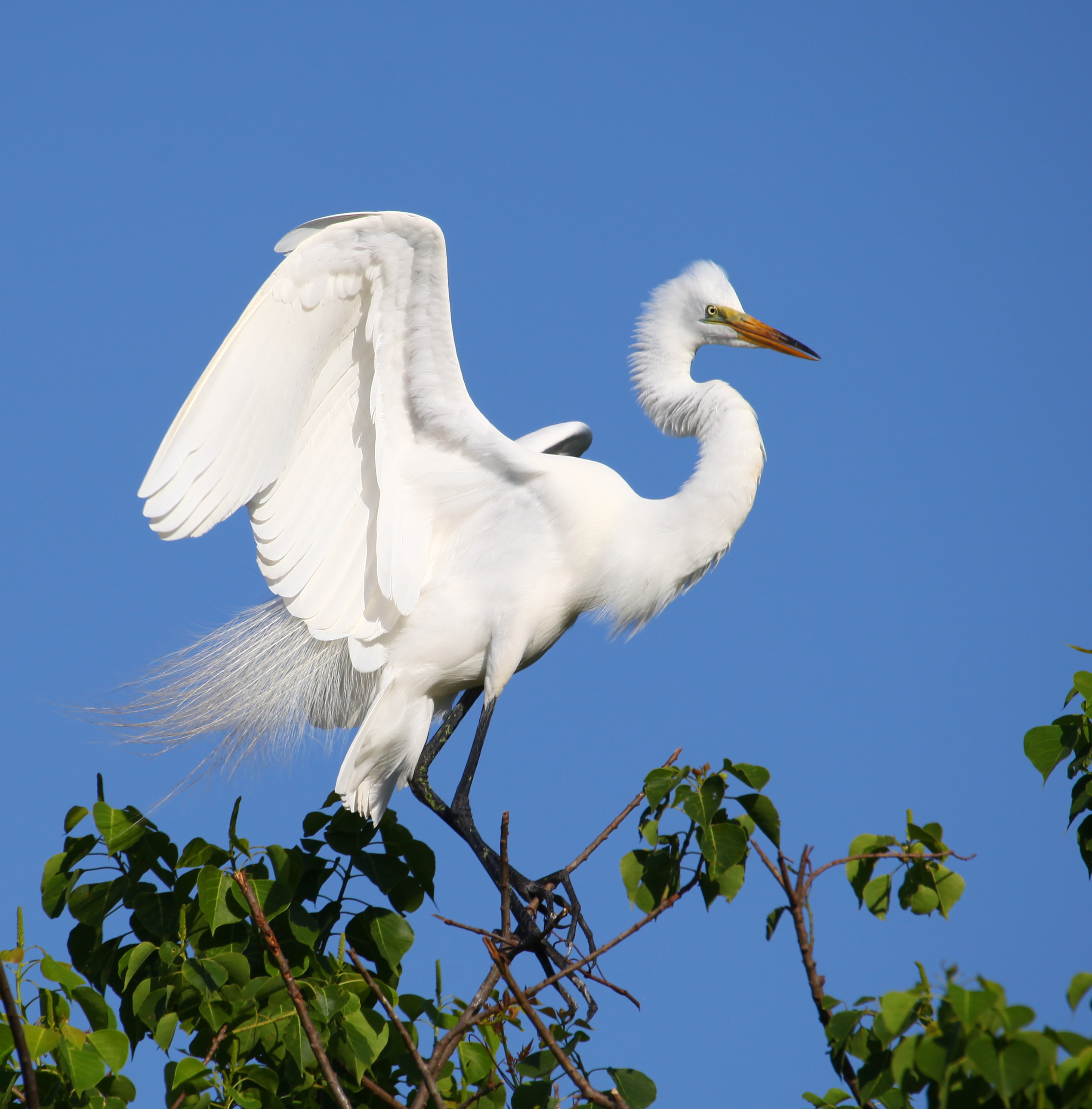Great White Egret Artwork Collection