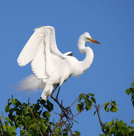 Egret by Geoffrey C Smith.jpg