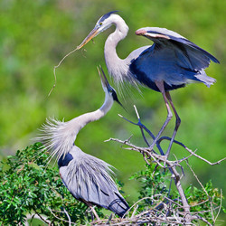 Great Blue Heron Artwork Collection