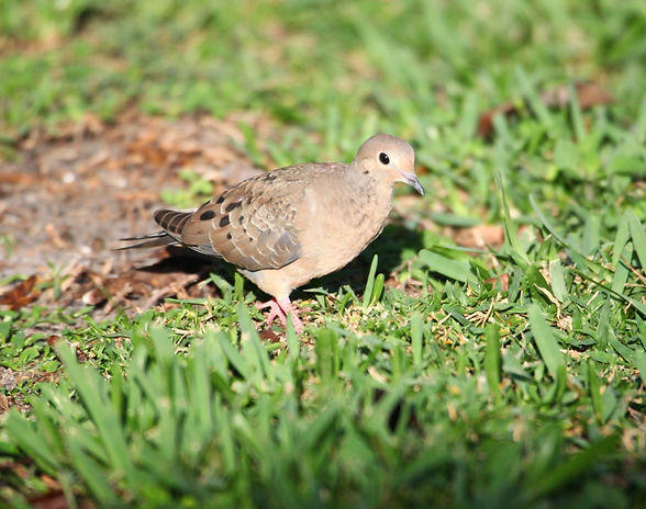An image of a mourning dove on the ground.