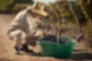 cosechador