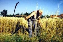 Fauchage du blé à la main