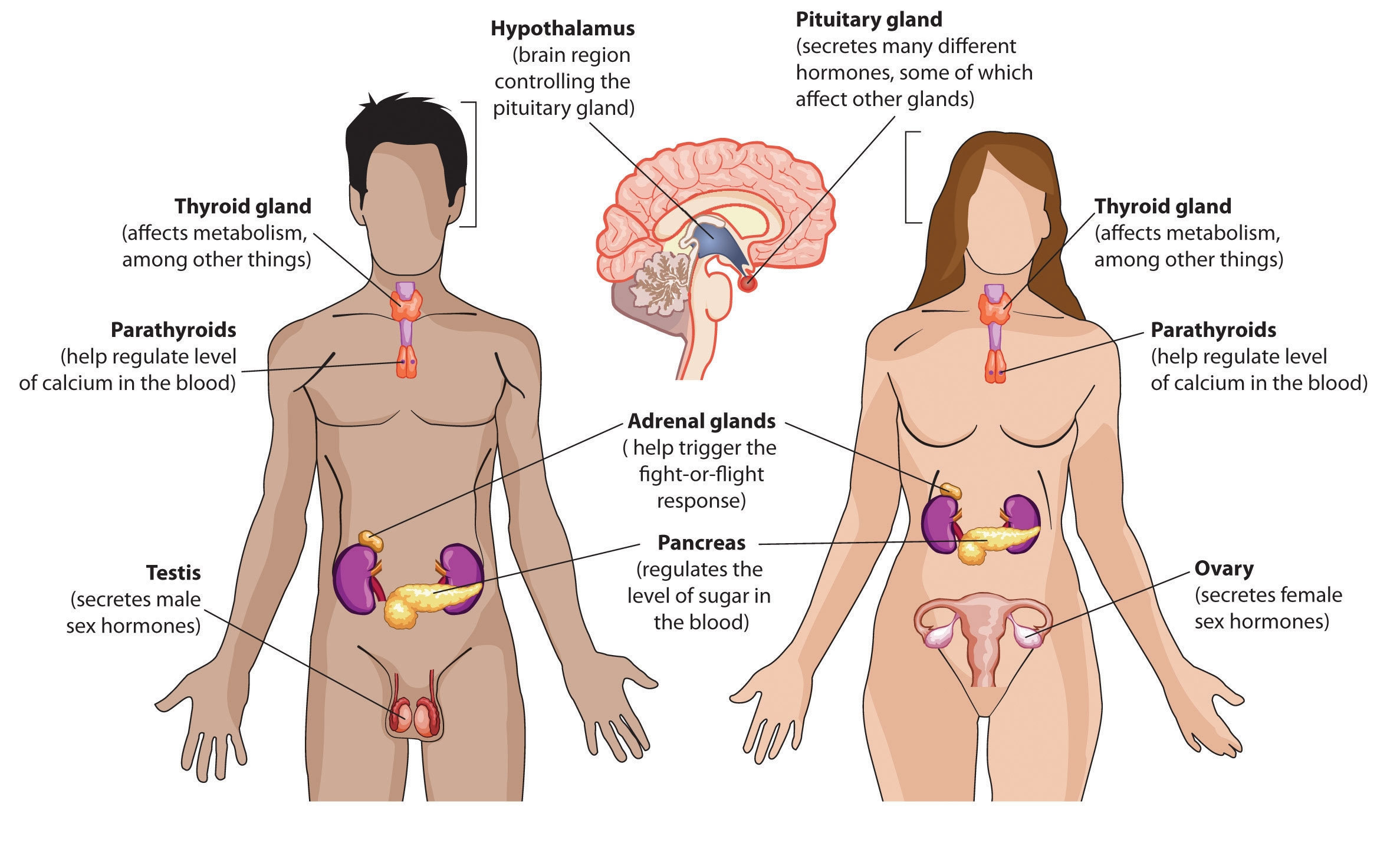 Endocrine System Diagram Label. Endocrine. Free Database Wiring ...