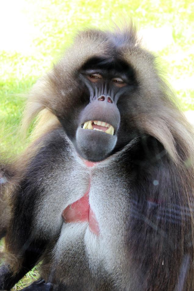 baboon photography nature animal photography